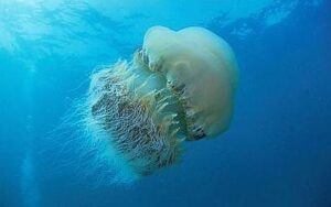 10 Ton Boat Sunk by Giant Jellyfish